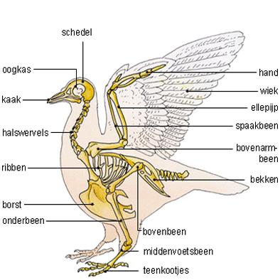 Fein Die Anatomie Der Vögel Zeitgenössisch - Anatomie Von ...
